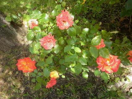 FOTKA - Keř růží