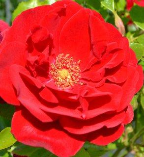 FOTKA - sametová červená růže...