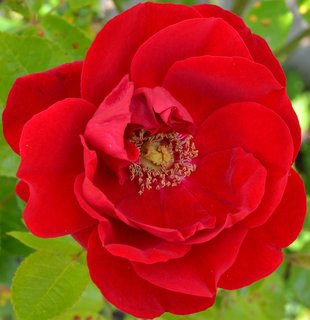 FOTKA - květ růžičky...