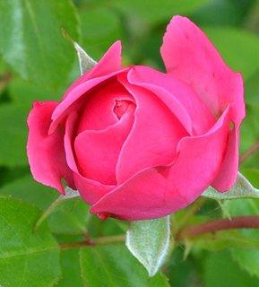 FOTKA - růžové poupátko....