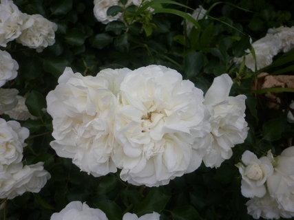 FOTKA - Bílé růže