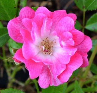 FOTKA - květ růžičky  ...