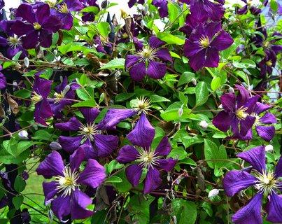 FOTKA - květy na plotě ..