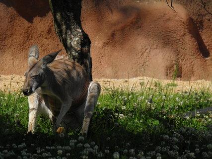FOTKA - klokan se drbe