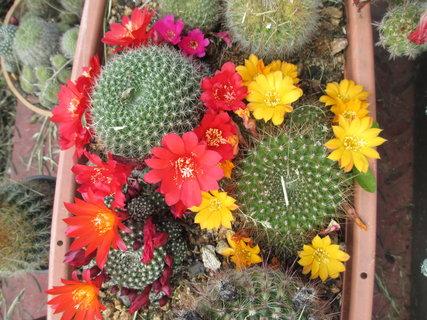 FOTKA - další rozkvetlé kaktusy