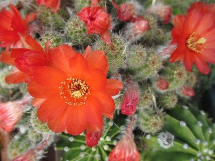 FOTKA - další kvetoucí kaktus...