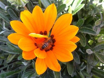 FOTKA - Oranž. gazánie