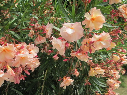 FOTKA - kvetoucí keř