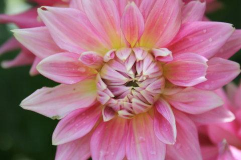 FOTKA - růžová