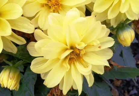 FOTKA - Žlutý záhon jiřin