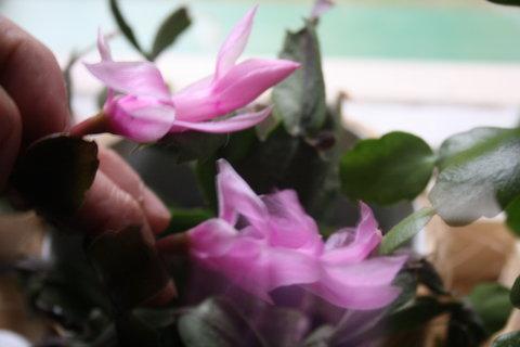 FOTKA - 2 květy lila