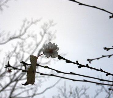 FOTKA - květ třešně v mlze