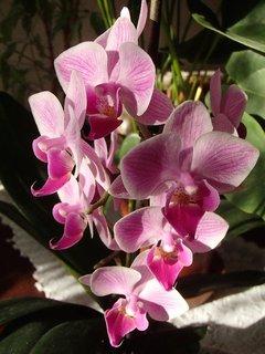 FOTKA - miniorchidea znova v kvete