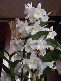 FOTKA - zvláštny druh orchidei