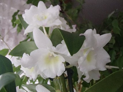 FOTKA - kvietky vrúbkovanej orchidei