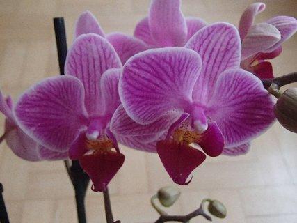 FOTKA - kvietky mojej novej orchidei