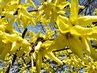 forsythie hezky kvetou