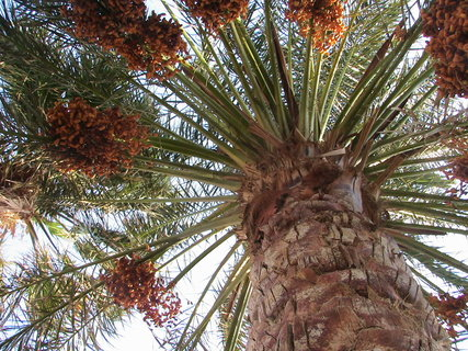 FOTKA - Koruna palmy
