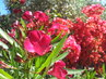 rudy oleandr a za nim cervena bucaville