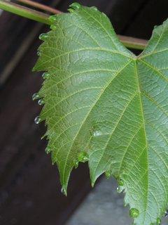 FOTKA - kapky na listu révy
