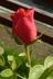 Poupě růžičky
