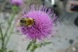 bodlák a včela