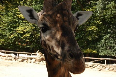FOTKA - Žirafa