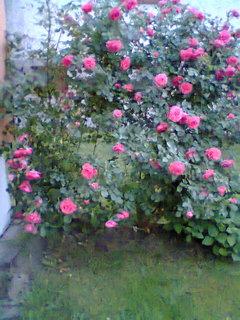 FOTKA - pnoucí růže 1