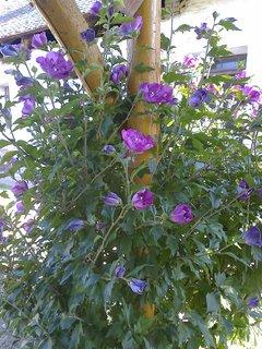 FOTKA - Kvetoucí keř zdobí pergolu