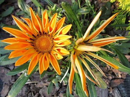 FOTKA - květy gazanií
