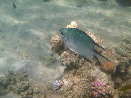 FOTKA - modrá rybka