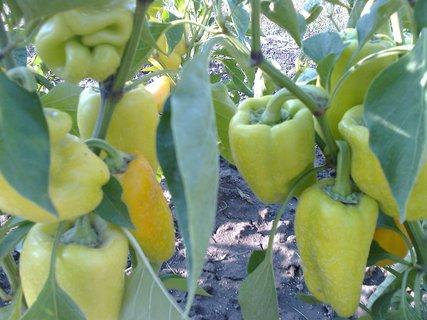 FOTKA - Papriky už se zabarvují