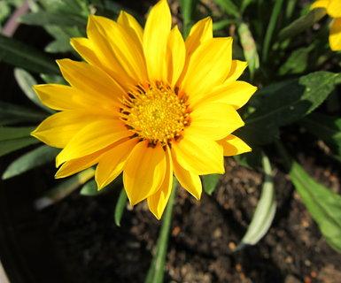 FOTKA - gazánie žlutá