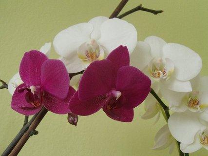 FOTKA - biela s ružovou