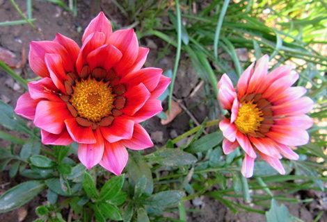 FOTKA - dvě růžové gazánie