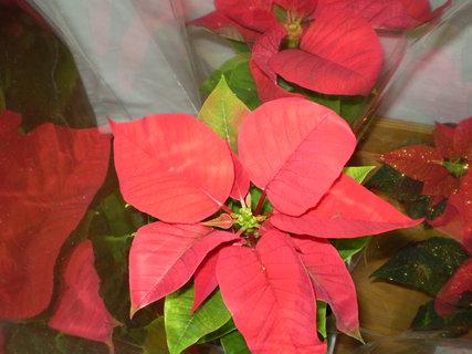 FOTKA - Vánoční růže