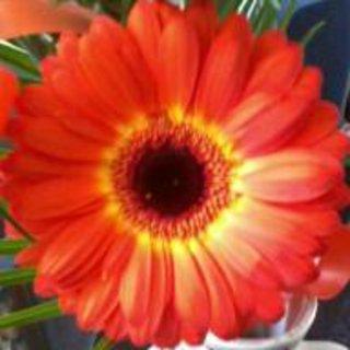 FOTKA - Oranžová gerbera