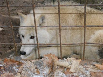 FOTKA - bílý vlk