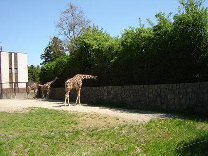 FOTKA - ZOO Dvůr Králové žirafy
