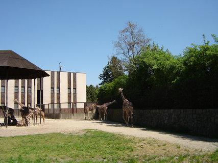 FOTKA - ZOO Dvůr Králové žirafy 2
