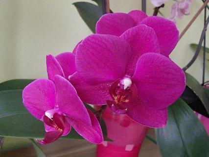 FOTKA - ružovučká orchidea