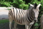 Zebra-.