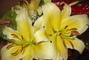 žluté lilie