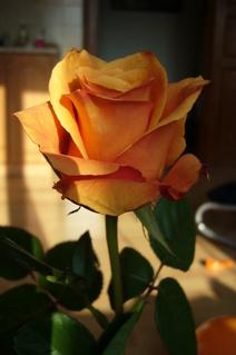 FOTKA - Růže