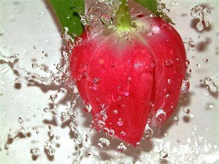 FOTKA - tulipán a kapičky