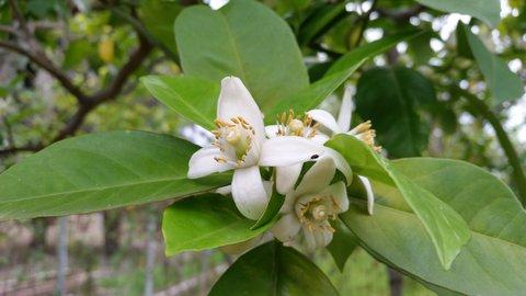 FOTKA - Pomerančové Květy krásné voní