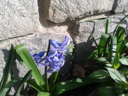 FOTKA - Modrý kvíteček.