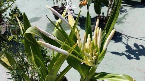 FOTKA - Další zajímavý Květ z ipomea