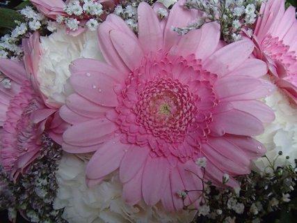 FOTKA - ružová gerbera