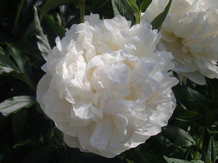 FOTKA - biela pivonka